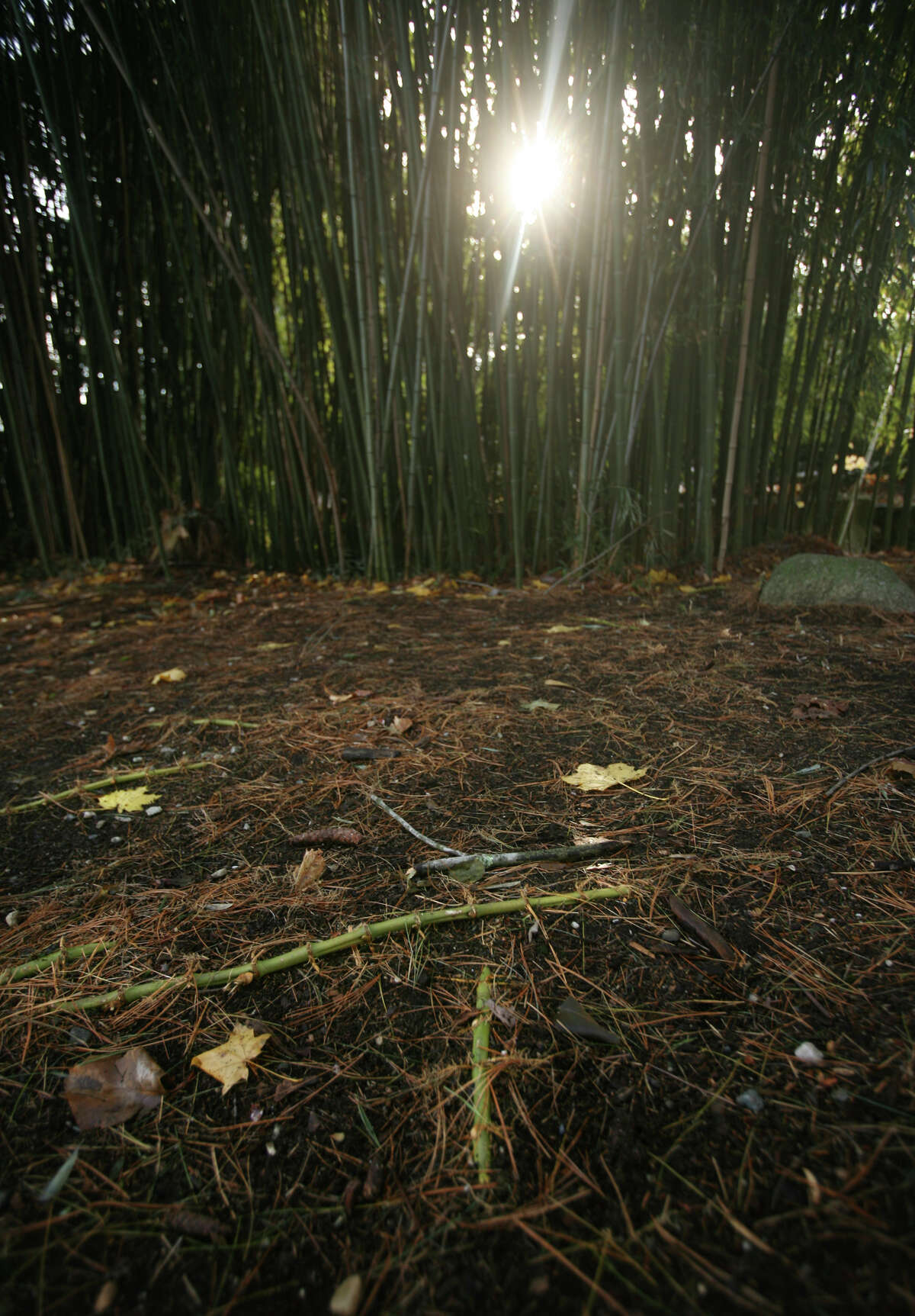 A stand of bamboo sends out rhizomes as it expands across a property in Westport on Wednesday, November 28, 2012.