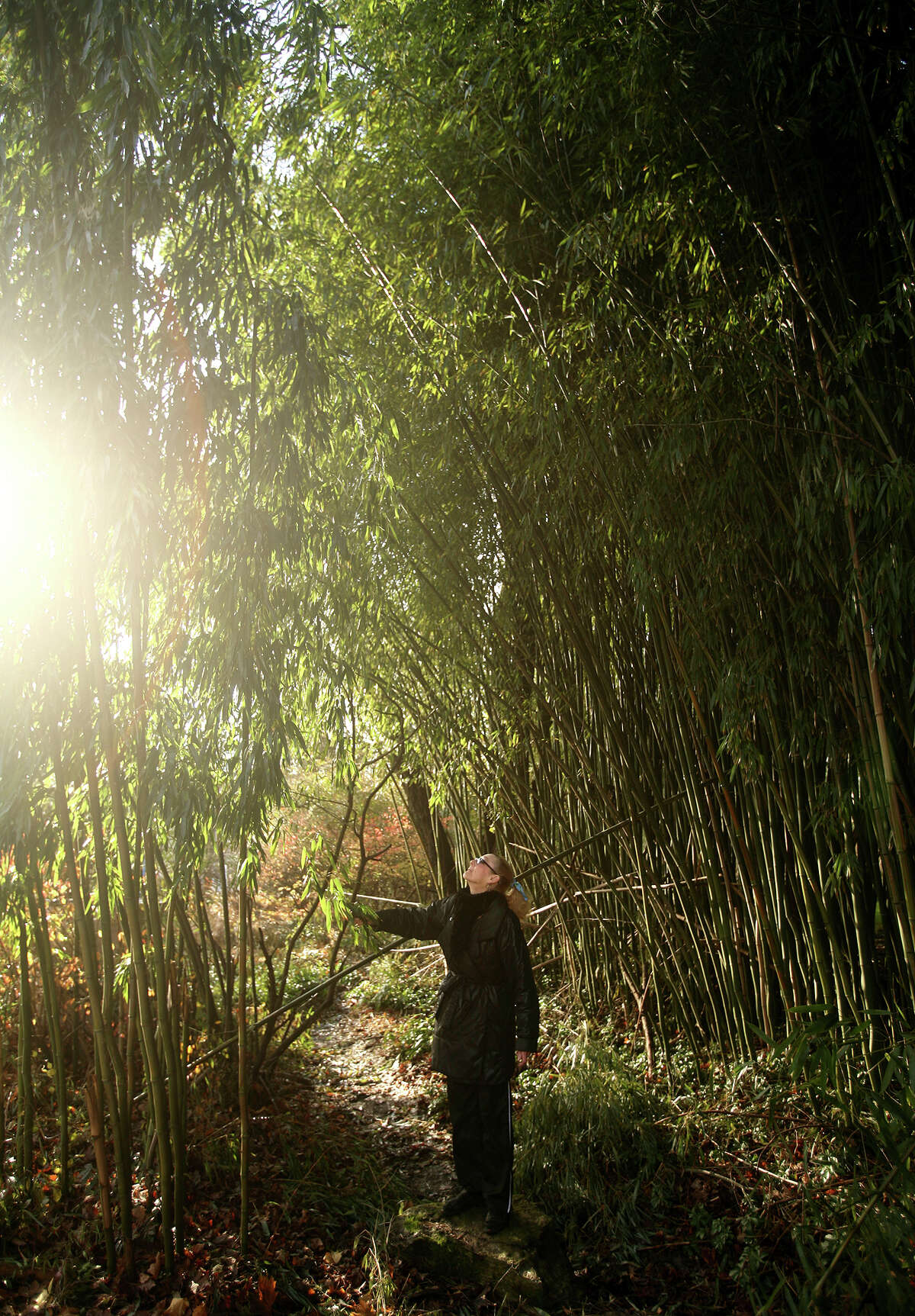 Priscilla Weadon checks out an enormous stand of bamboo growing near her home in Westport on Wednesday, November 28, 2012.