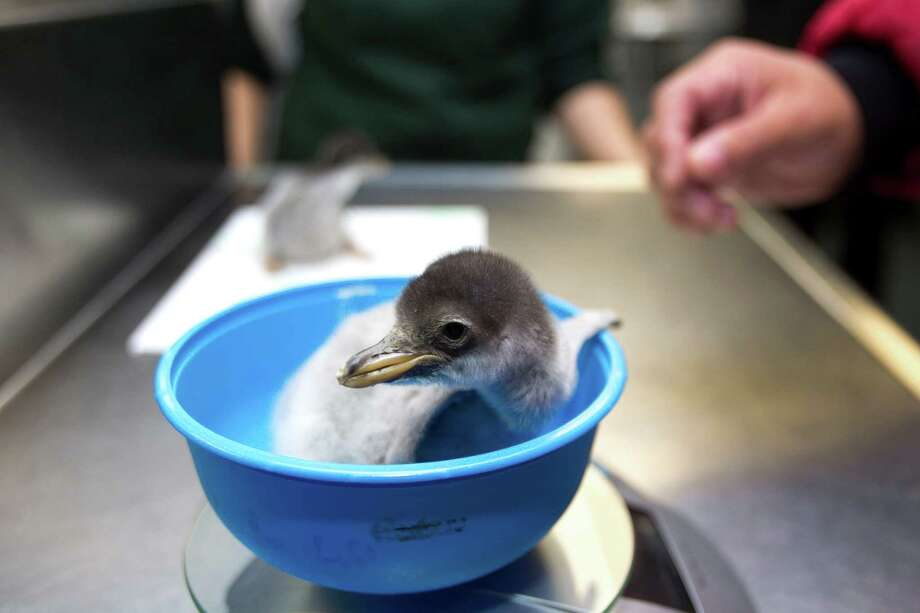 One of the two newly hatched Gentoo penguin chicks is weighed at Moody Gardens Wednesday, Nov. 28, 2012, in Galveston. The chicks were born over the Thanksgiving holiday. Photo: Brett Coomer, Houston Chronicle / © 2012 Houston Chronicle