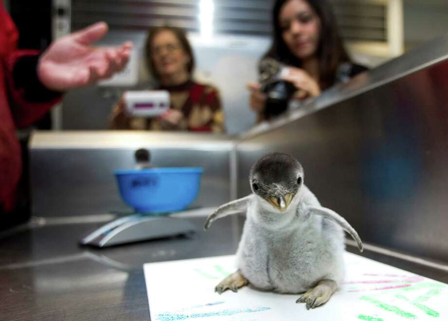 A pair of Gentoo penguin chicks are weighed and examined at Moody Gardens Wednesday, Nov. 28, 2012, in Galveston. The chicks were born over the Thanksgiving holiday. Photo: Brett Coomer, Houston Chronicle / © 2012 Houston Chronicle