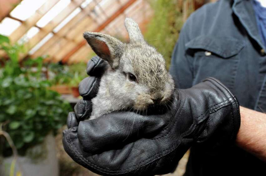 Scott Kellogg of the Radix center holds a baby rabbit at the center, which is an urban greenhouse and farming collective that raises chickens ,cold water fish and rabbits in the Mansion neighborhood. The group is looking to educate more children from the city in gardening and sustainable living in Albany, NY Tuesday Nov. 27, 2012. (Michael P. Farrell/Times Union)