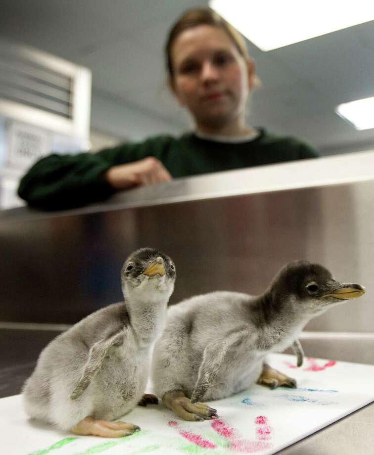 Biologist Sasha Francis stands by a pair of newly-hatched Gentoo penguin chicks at Moody Gardens Wednesday, Nov. 28, 2012, in Galveston. The chicks were born over the Thanksgiving holiday. Photo: Brett Coomer, Houston Chronicle / © 2012 Houston Chronicle