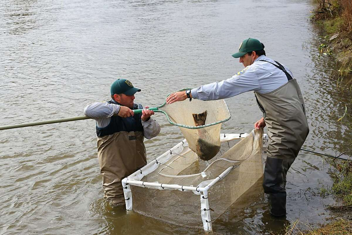NEWMAN,CA-- California Department of Fish and Game scientific aide Mike Grill, lf and Environmental scientist Mike Bigelow,rt, remove a fall run Chinook salmon from the Hills Ferry Barrier in Newman which was later released upstream as part of the San Joaquin River restoration program. Biologists from the California Department of Fish and Game netted 5 salmon, including one female and four males for the day.