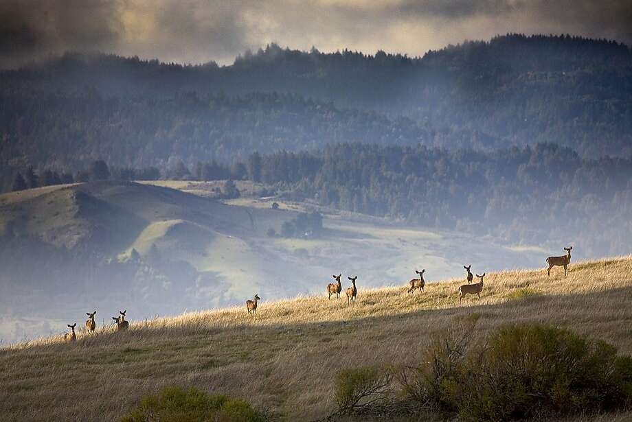 Black-tailed deer gather on a ridge at Monte Bello Open Space Preserve. The park offers some nice panoramas of the South Bay, including from Black Mountain where a trail camp affords overnight stays. Photo: Courtesy Karl Gohl