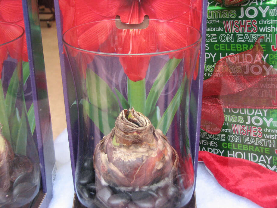 Walgreens, Nov. 26, 2012; holiday plant in glamorous store window (Will Hearst)