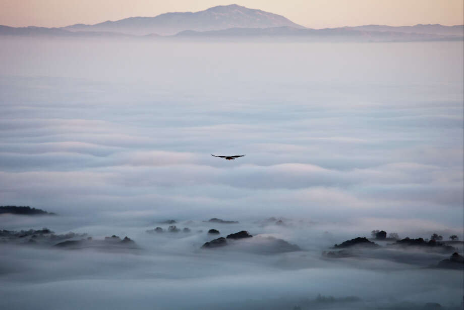 Flight on the fog, raptor soaring above fog line at Windy Hill Open Space Preserve (Mike Asao) Photo: ;;;;;;;;;;;;;;;;;;;;;;;;;;;;;;;