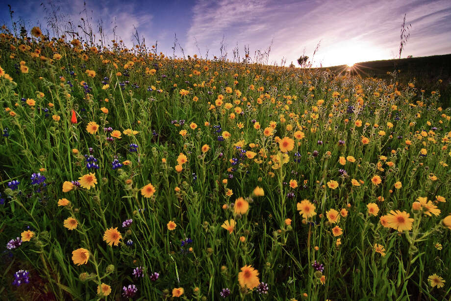 Wildflowers dance in the breeze at Russian Ridge (Vaibhav Tripathi)