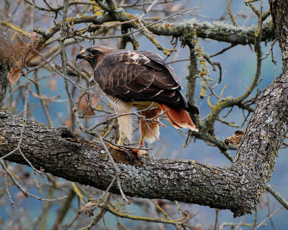 Surprised red-tailed hawk perched on limb at Rancho San Antonio Open Space Preserve (John Kesselring)