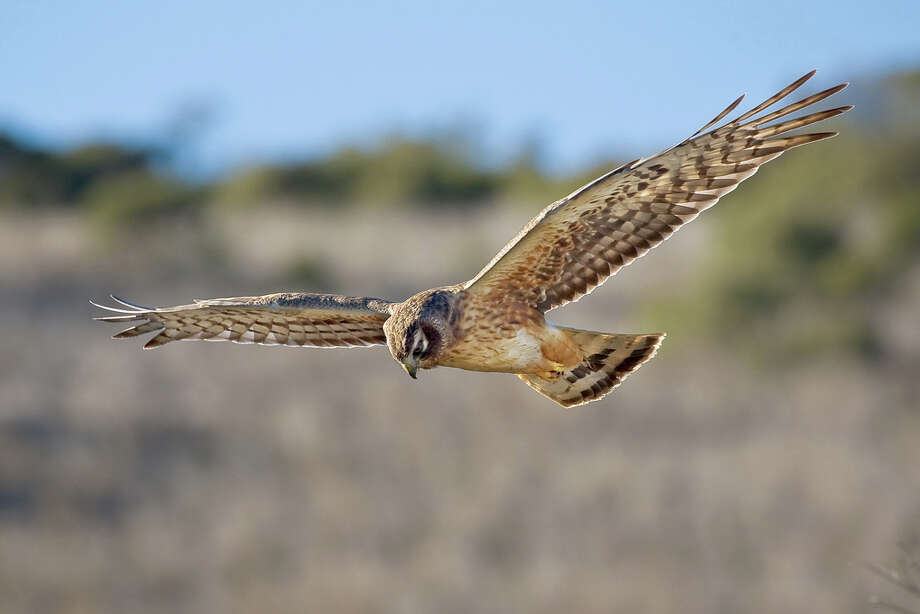 Northern harrier hunting at Windy Hill Open Space Preserve (Karl Gohl)