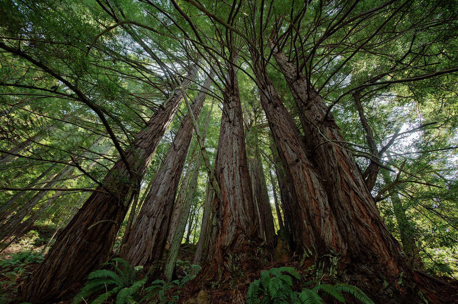 Cathedral redwoods at Purisima Creek Redwoods Open Space Preserve (Karl Gohl) / Copyright Karl Gohl