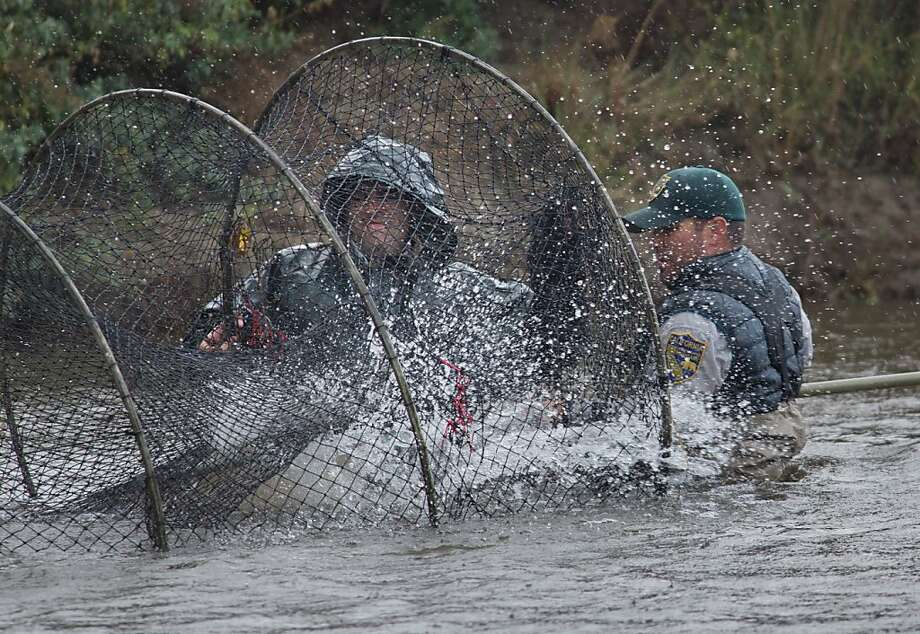 State Fish and Game scientists net a chinook that will be relocated upstream on the San Joaquin River as part of restoration effort. Photo: Tomas Ovalle, Special To The Chronicle
