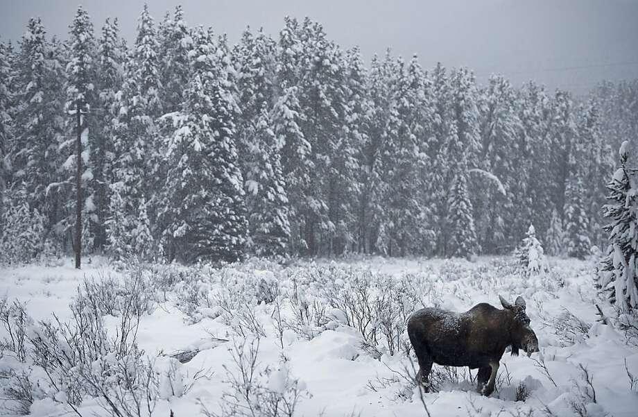A moose makes its waythrough a snowy clearing near Lake Louise, Alberta. Photo: Jonathan Hayward, Associated Press