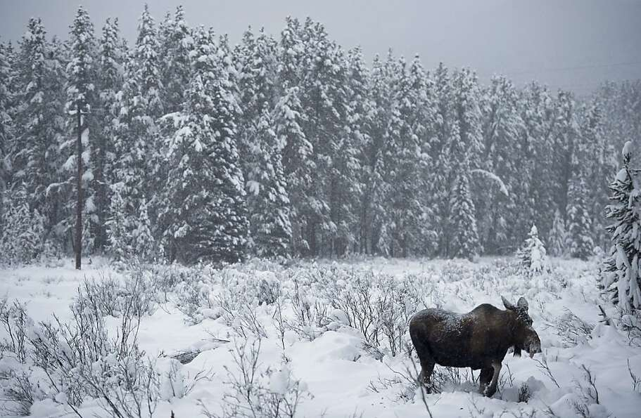 A moose makes its way through a snowy clearing near Lake Louise, Alberta.
