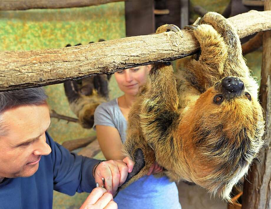 Hang nail trim: It takes Paula, oldest two-toed sloth in Europe, so long to traverse a branch, Halle Zoo veterinarians can finish cutting her toenails before she's halfway across. (Halle, Germany.) Photo: Waltraud Grubitzsch, AFP/Getty Images