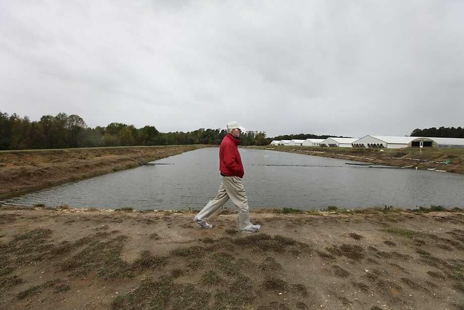 Glenn Clifton walks alongside the hog-waste holding lagoon he designed, North Carolina officials are seeking better technology for waste treatment. Photo: Shawn Rocco, McClatchy-Tribune News Service