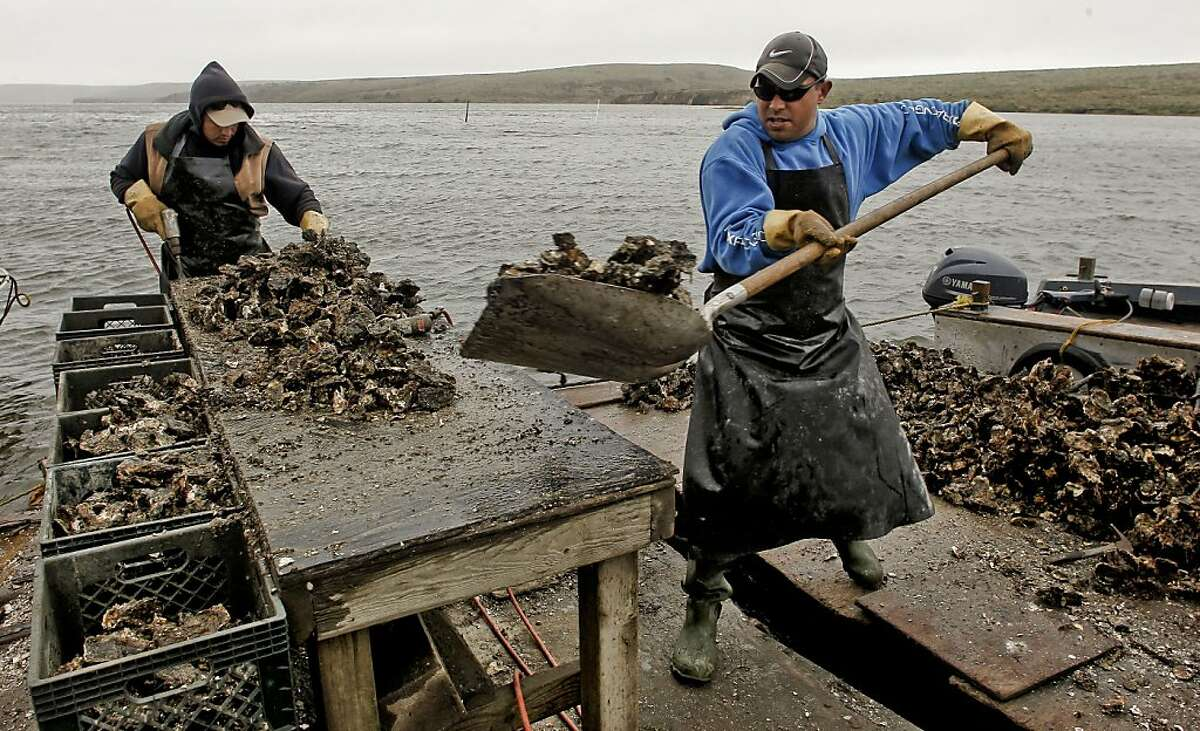Francisco Manzo, (left) and Alonzo Olea process the oysters at the Drakes Bay Oyster Company in Point Reyes, Calif. on Thursday Nov. 29, 2012. U.S. Interior Secretary Ken Salazar rejected a proposal to extend the lease of the popular Drakes Bay Oyster Farm at Point Reyes National Seashore Thursday, effectively ending more than a century of shellfish production on the 1,100 acres in Drakes Bay.