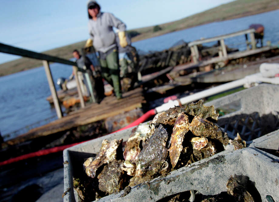 Workers haul bags full of oysters up onto the dock from a harvesting boat at the oyster company. US Secretary of the Interior Ken Salazar visited Drakes Bay Oyster Company Wednesday November 21, 2012 as he  is trying to decide whether the oyster farm belongs in a national park setting. Photo: Brant Ward, The Chronicle / ONLINE_YES