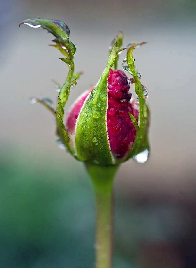 Rain drops cling to a rose bud in North Tustin Thursday, Nov. 29, 2012 as rain fell throughout Orange County. (AP Photo/The Orange County Register, Mark Rightmire) LA TIMES OUT, MAGS OUT Photo: Mark Rightmire,, Associated Press