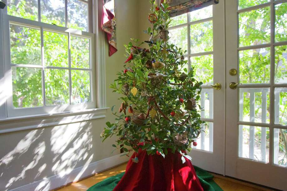 "A ""Savannah Holly"" tree can be planted outdoors once Christmas is over. Photo: James Nielsen, Staff / Houston Chronicle"