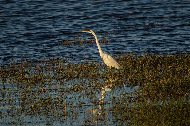 It's possible to see great egrets all year around wet areas on the prairie. Photo: Kathy Adams Clark / KAC Productions