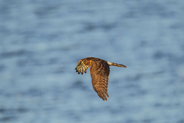 Watch for northern harrier foraging over the grasslands for prey this winter. Photo: Kathy Adams Clark / KAC Productions