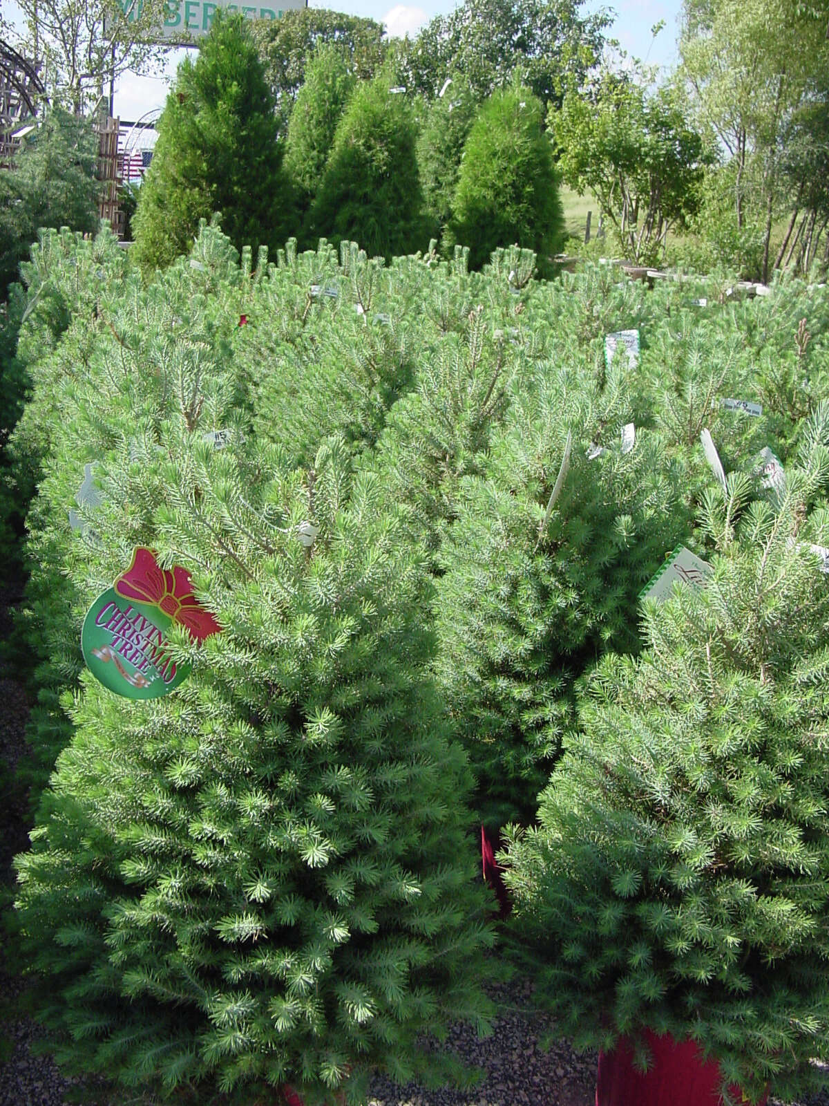 Italian stone pines can grow as tall as 35 feet.