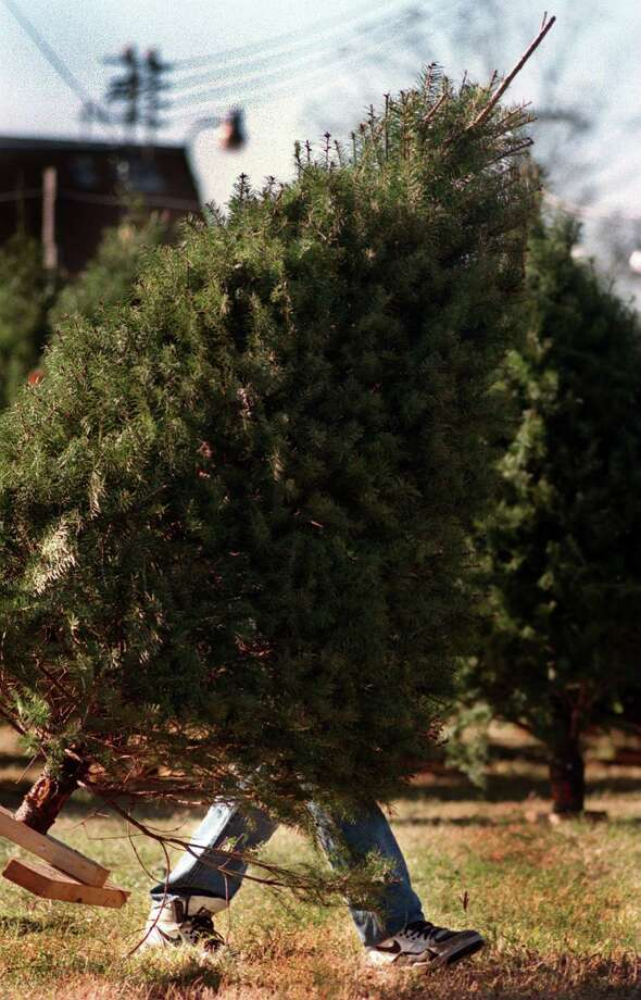 Cut a couple of inches off the trunk of a cut Christmas tree so it can absorb water and stay fresh longer. Photo: File Photo / SAN ANTONIO EXPRESS-NEWS