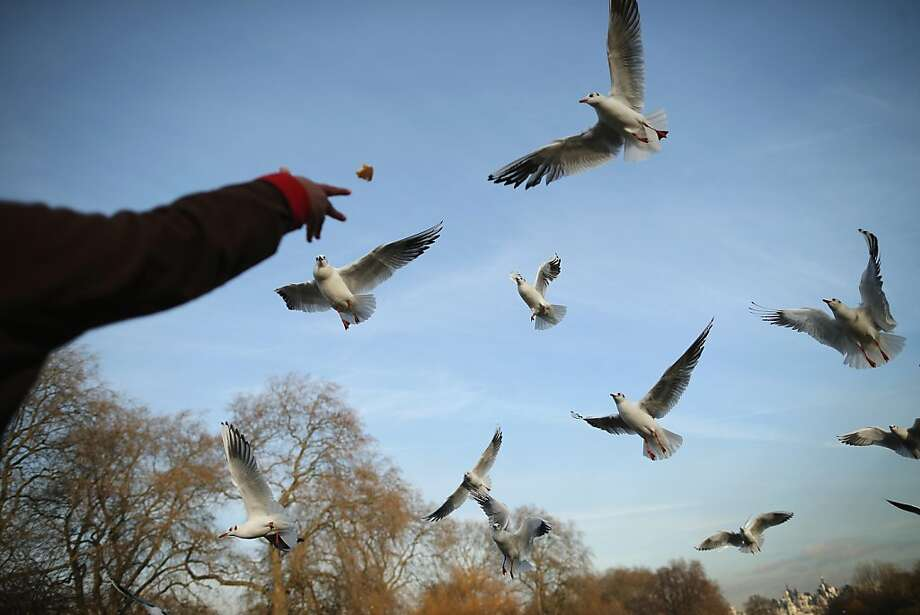 A bird lover flings treats to the Black Headed Gulls of St. James's Park on a frigid autumn day in London. Photo: Dan Kitwood, Getty Images
