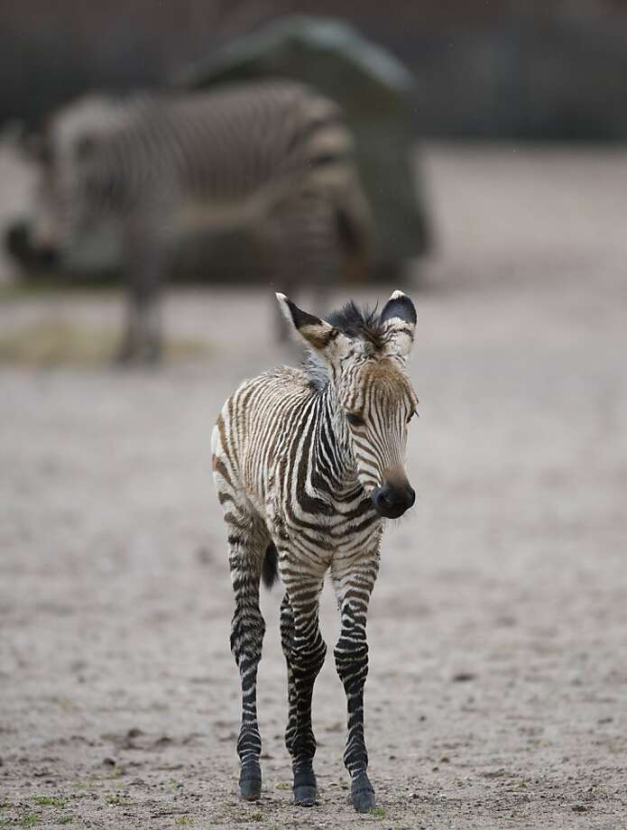 Knobby knees, wobbly legs and all: Two-week old Mira explores her enclosure without a chaperone at the Tierpark Zoo in Berlin. Photo: Florian Schuh, AFP/Getty Images