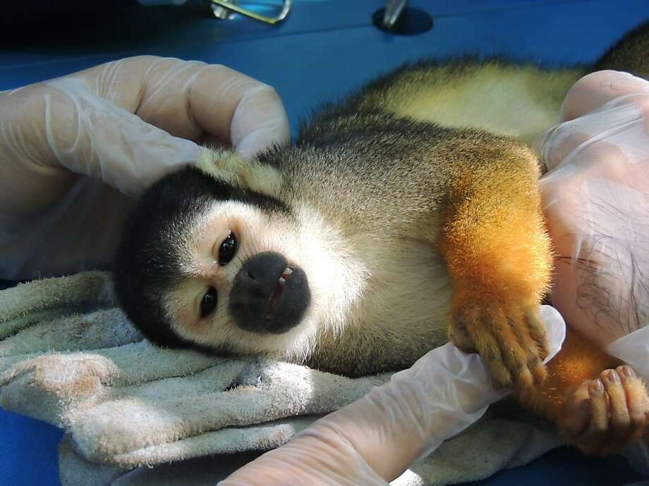 Captured in order to save it:A black squirrel monkey caught in the Amazon rainforest in Tefe, Brazil, for a research project squeezes the finger of a scientist. Researchers of the Mamiraua Institute are collecting samples of blood and hair to obtain information for future experiments on artificial insemination and embryo transplants for the endangered species. Photo: Fernanda Paim, AFP/Getty Images