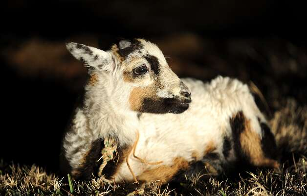 A lamb lays in the grass during a performance of a Live Nativity story at the Wesley United Methodist Church in Nederland, Saturday. Tammy McKinley/The Enterprise Photo: TAMMY MCKINLEY / Beaumont
