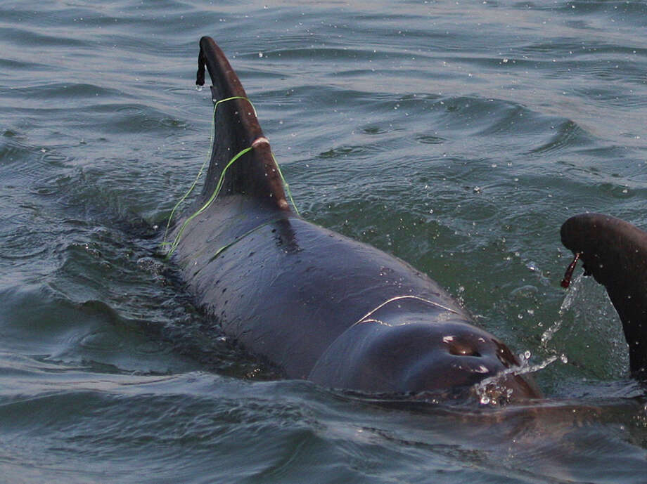 A dolphin tangled in a fishing net off the Texas Gulf Coast. Photo: Texas Marine Mammal Stranding Network Photo: Texas Marine Mammal Stranding Ne / Texas Marine Mammal Stranding Ne