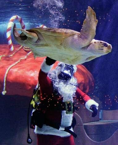 Scuba Santa pets a sea turtle swimming by at the Newport Aquarium, Wednesday, Nov. 28, 2012, in Newport, Ky. It is the ninth year for Scuba Santa at the aquarium where he is on view through Jan. 1, 2013. Photo: Al Behrman, Associated Press / AP