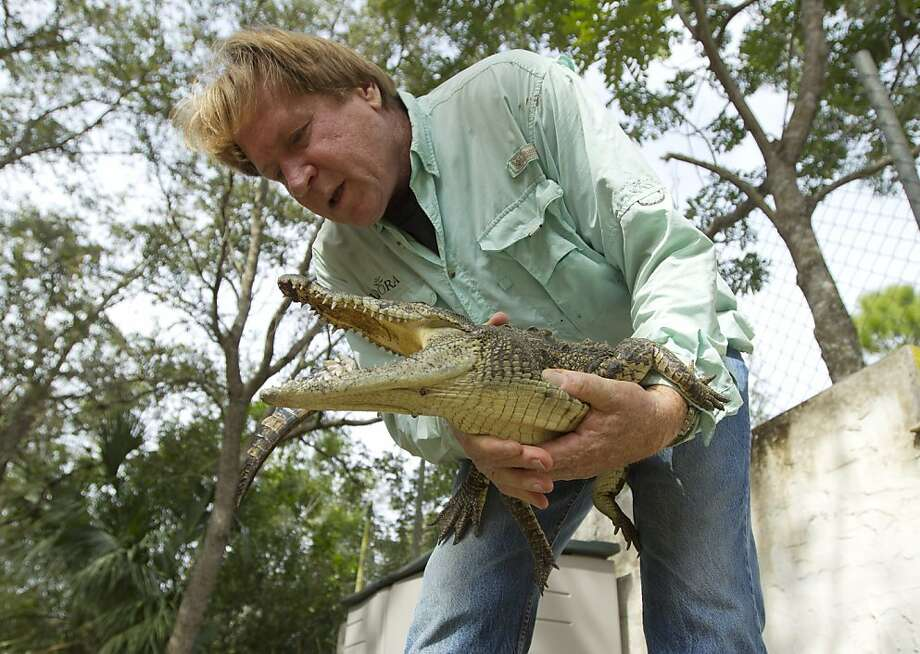 Wildlife biologist Joe Wasilewski works with a captured Nile croc caught near his Homestead, Fla., home. Photo: J Pat Carter, Associated Press