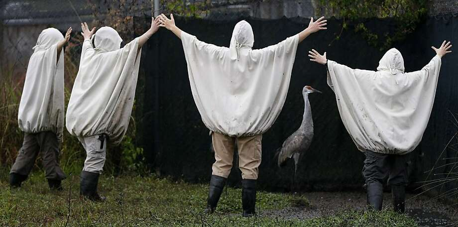 All right, all right, I'll go. Just stop haunting me! In New Orleans, aviculturists wearing crane costumes round up an endangered Mississippi sandhill crane before transporting it and its fellow cranes to the Mississippi Sandhill Crane National Wildlife Refuge in Gautier. Photo: Gerald Herbert, Associated Press