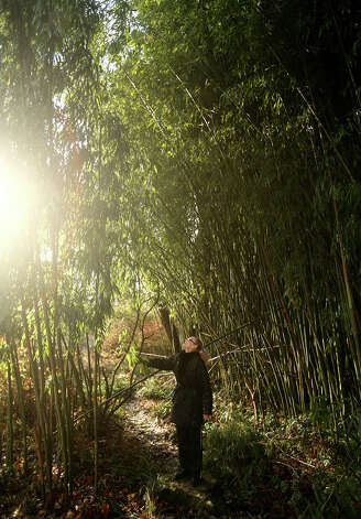 Priscilla Weadon checks out an enormous stand of bamboo growing near her home in Westport on Wednesday, November 28, 2012. Photo: Brian A. Pounds / Connecticut Post