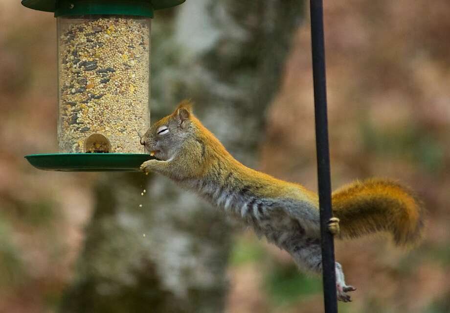 'Squirrel-proof' was overly optimistic: Intruder 1, bird feeder 0, in Hudson, Wis. Photo: Karen Bleier, AFP/Getty Images