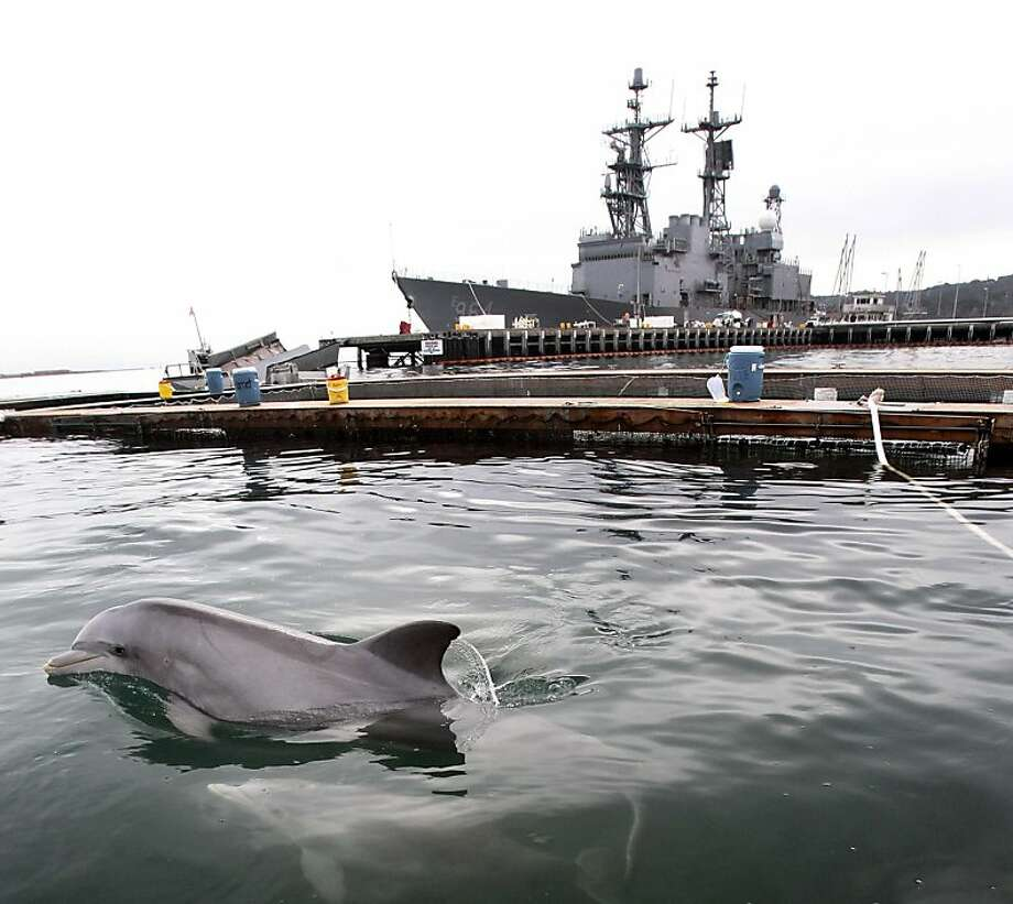 Wanna race? An Atlantic bottlenose dolphin and baby are ready to challenge a light cruiser at the SPAWAR facility on Point Loma, Calif. Photo: John Gibbins, Associated Press