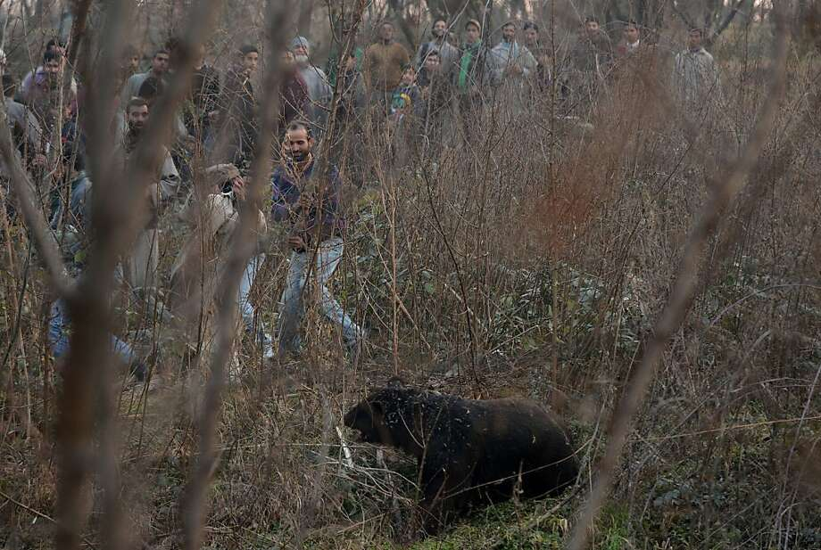 Mob chases down bear:Kashmiri Muslims surround a black bear that wandered into a village, causing a panic in the Zakoora area outside Srinagar, India. No doubt the bear was panicked as well. It was not clear what happened to the bruin. Photo: Tauseef Mustafa, AFP/Getty Images