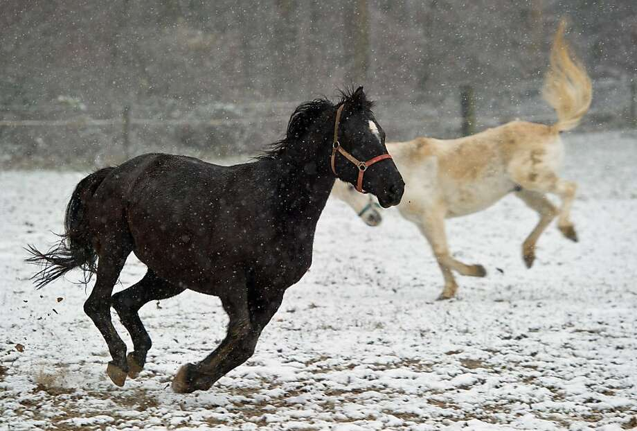 Frisky in the flakes: Horses romp in the falling snow in Hambach/Diez, Germany. Photo: Boris Roessler, AFP/Getty Images