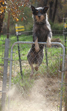 An Australian Cattle Dog (also known as a Blue Heeler) jumps over a gate at the Tri-City Animal Shelter near Poteet, Texas. The facility has offered a haven for homeless and abused dogs and cats since 2005. The non-profit is in need of funds to continue surgeries, vaccinations and kennel repairs. Photo: JOHN DAVENPORT, San Antonio Express-News / ©San Antonio Express-News/Photo Can Be Sold to the Public
