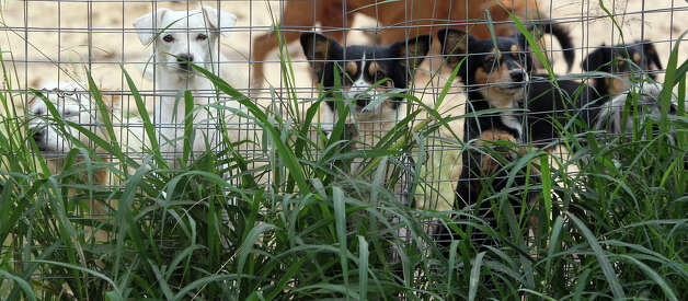 Puppies peer through a fence Monday December 3, 2012 at the Tri-City Animal Sanctuary near Poteet, Texas. The facility provides a haven for dogs and cats in Atascosa County and is in need of funding. Photo: JOHN DAVENPORT, San Antonio Express-News / ©San Antonio Express-News/Photo Can Be Sold to the Public