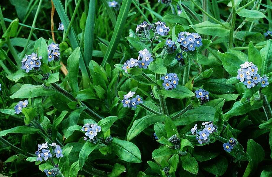 Forget-me-nots are charming flowers, but they tend to run rampant over California native plants. Photo: Pam Peirce