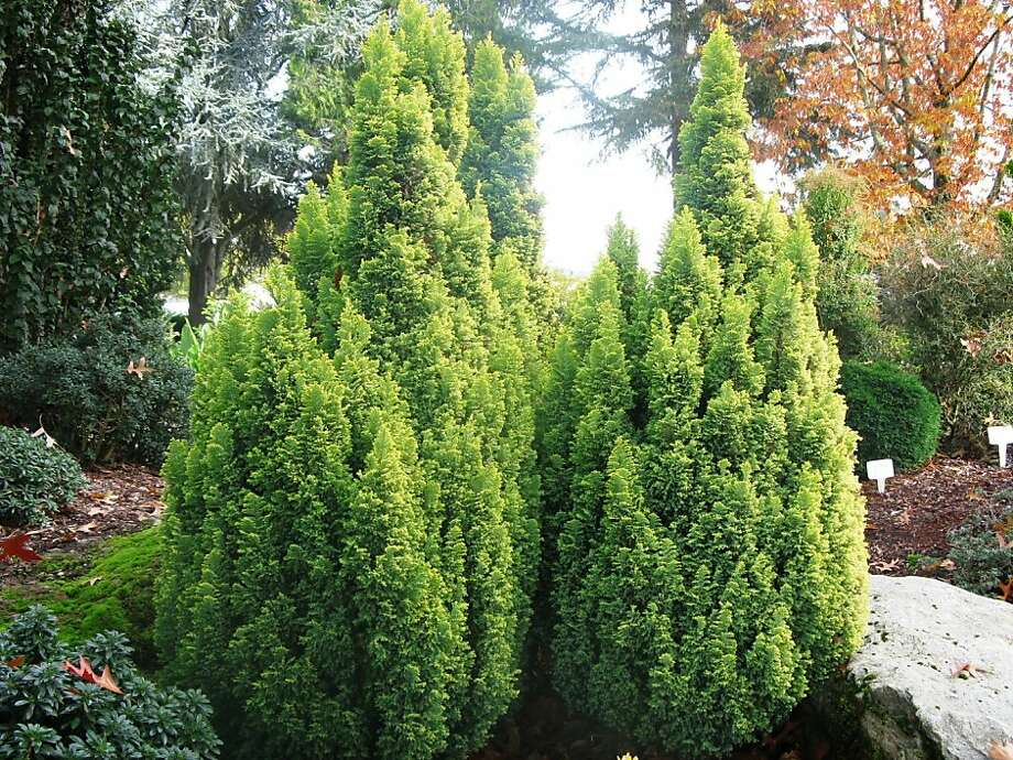 'Treasure Island' has a Christmas tree form and golden tips on green foliage. Photo: Youngblood Nursery
