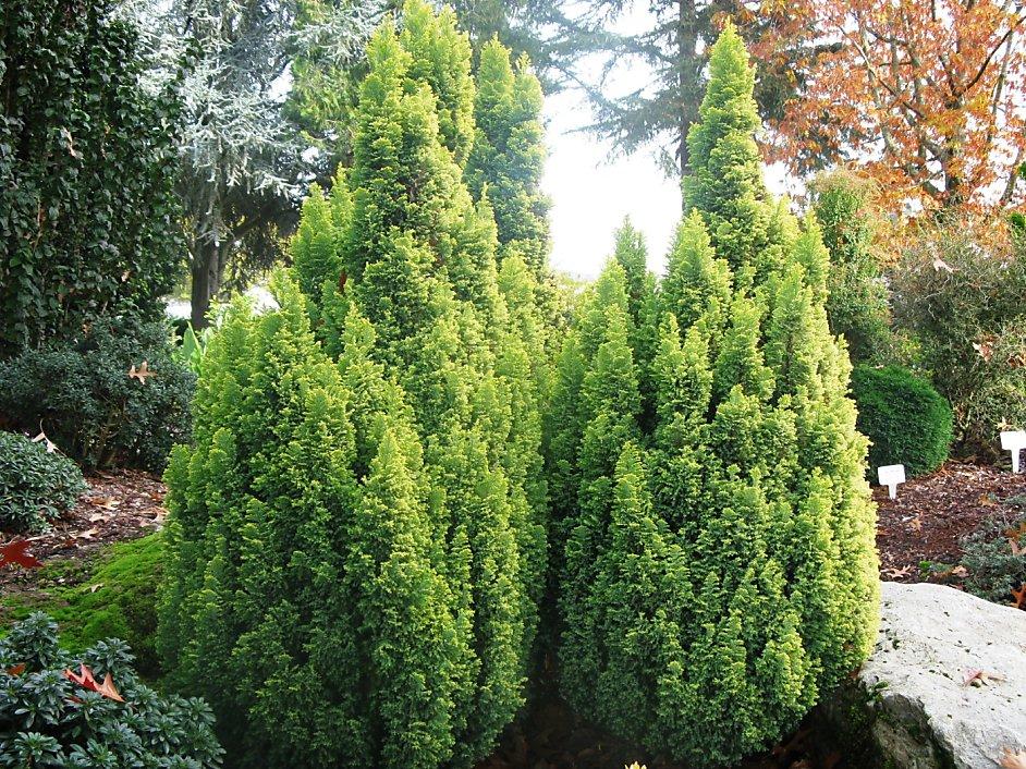 Galerry false cypress tree