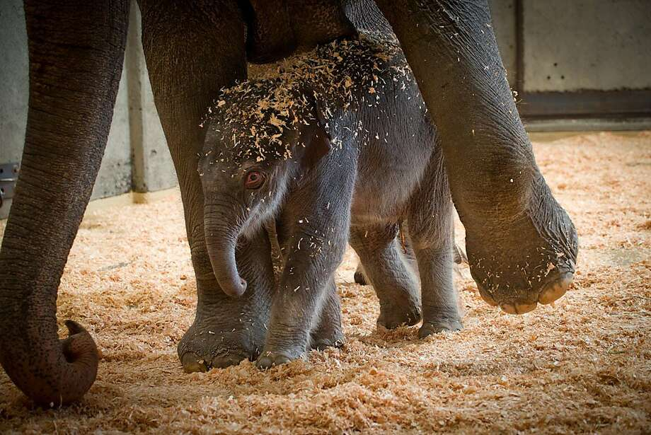 Little Big Mouth: Rose-Tu avoids stepping on her 300-pound calf at the Oregon Zoo in Portland. The 5-day-old youngster is described as healthy, vigorous and loud. Photo: Michael Durham, Associated Press