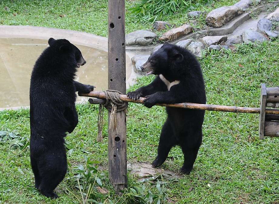 This is your first catapult, isn't it, Bagwell?Two bruins confer over a jerry-rigged structure at the Animal Asia Foundation bear rescue center in Vietnam's Tam Dao district. Photo: Hoang Dinh Nam, AFP/Getty Images