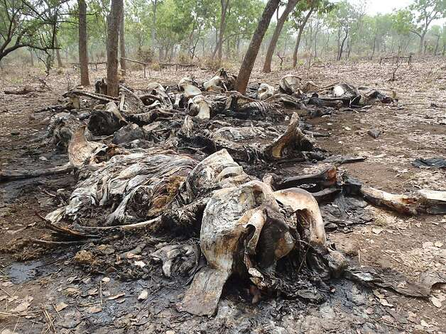 In a photo from February, carcasses of elephants slaughtered by poachers are seen in Bouba Ndjida National Park, in Cameroon near the border with Chad.