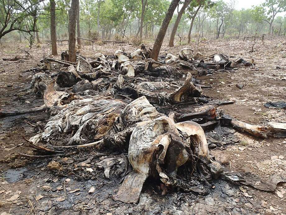 In a photo from February, carcasses of elephants slaughtered by poachers are seen in Bouba Ndjida National Park, in Cameroon near the border with Chad. Photo: Anonymous, Associated Press