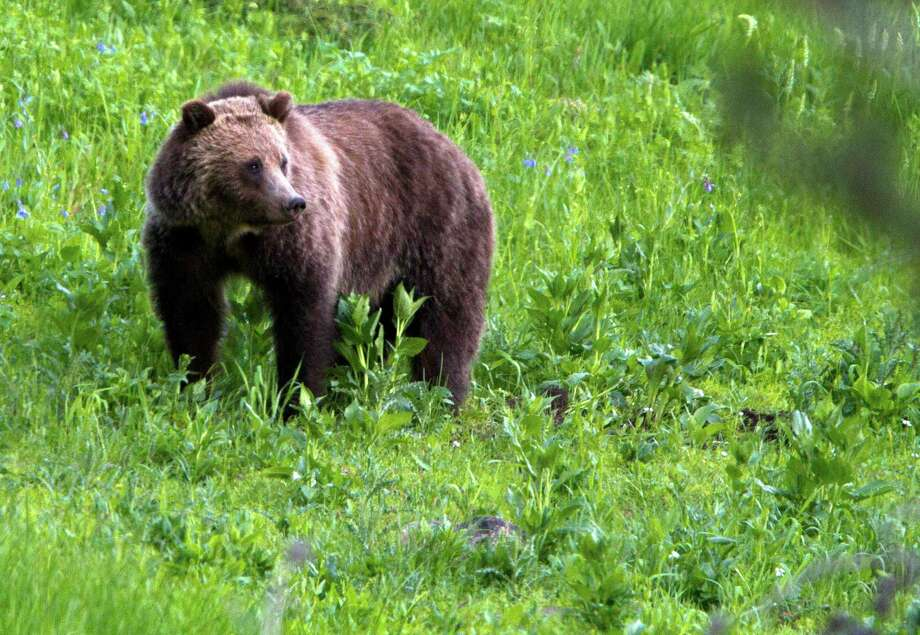 FILE - This July 6, 2011 file photo shows a grizzly bear roaming near Beaver Lake in Yellowstone National Park, Wyo. Wildlife managers in the Northern Rockies are laying the groundwork for trophy grizzly bear hunts in the Northern Rockies as the government moves toward lifting the animals' threatened species status. (AP Photo/Jim Urquhart, File) Photo: Jim Urquhart